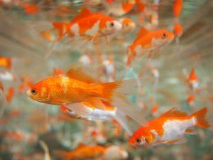 金魚鉢 画像